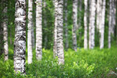 Birch tree (Betula pendula) forest in summer. Focus on foreground tree trunk.