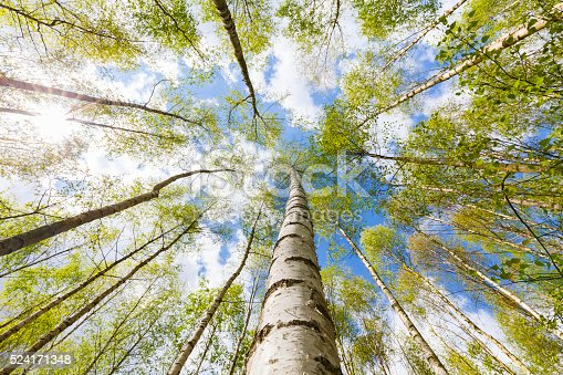 Plantation of birch trees with fresh leafs in the town forest of Cologne in spring time.