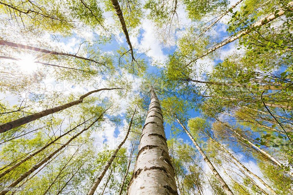 Birch tree forest stock photo
