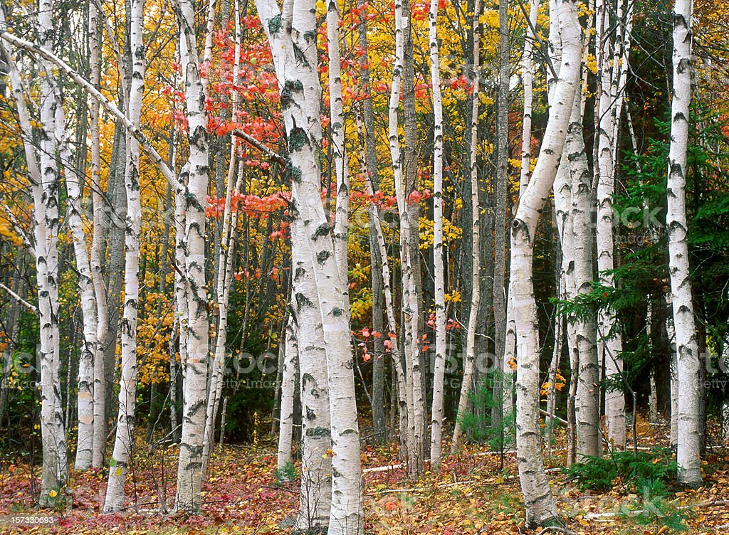Birch Tree Grove in Autumn Colors royalty-free stock photo