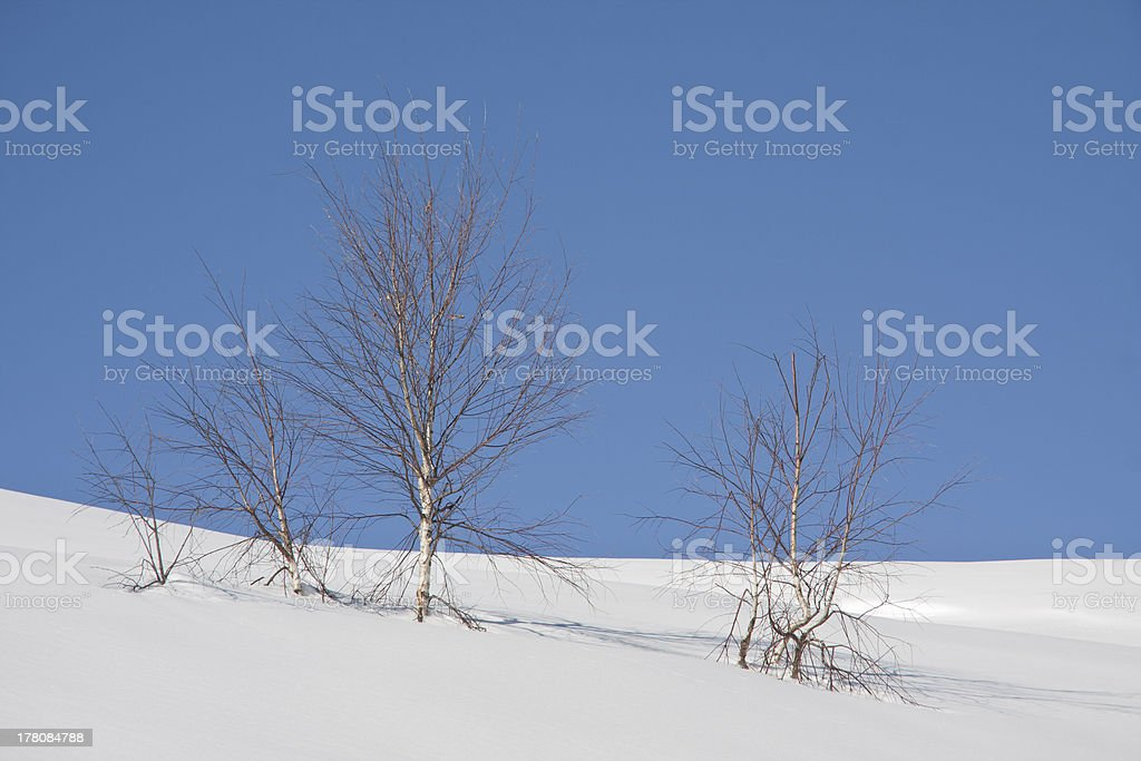 birch tree in a snowy landscape royalty-free stock photo