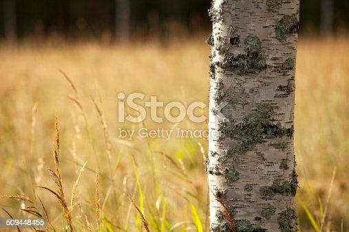 istock Birch tree in field 509448455