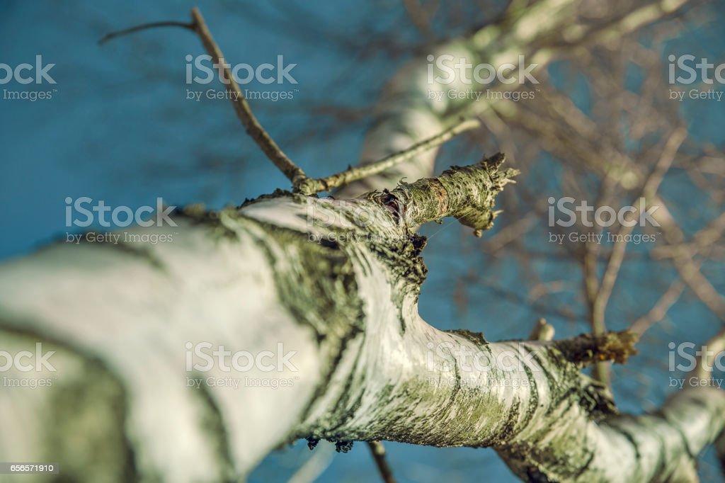 Birch tree in frog prespective stock photo