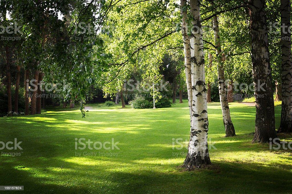 Birch tree in park stock photo