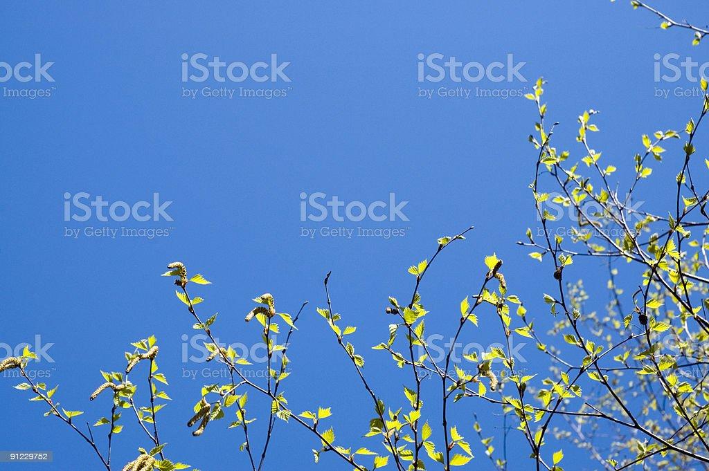 Birch tree in spring royalty-free stock photo