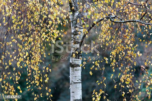 Birch Tree - selective focus on autumn leaves