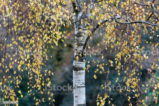 Photo of Birch Tree in the autumn - UK