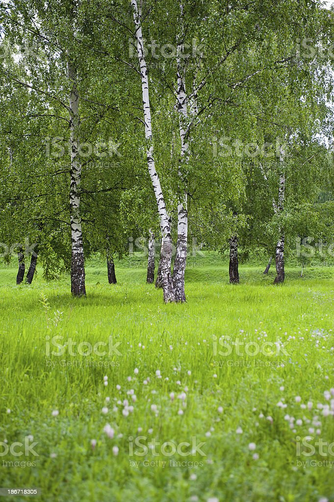Birch Tree in the Meadow royalty-free stock photo