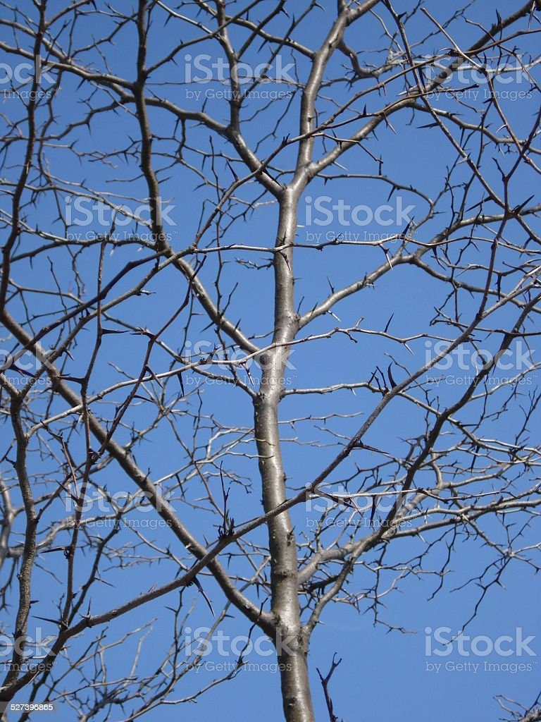 Birch Tree in Winter stock photo