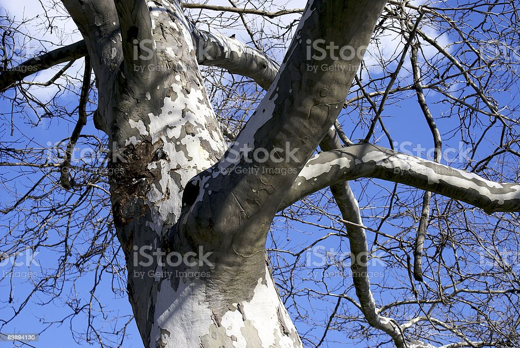 birch tree in winter royalty-free stock photo