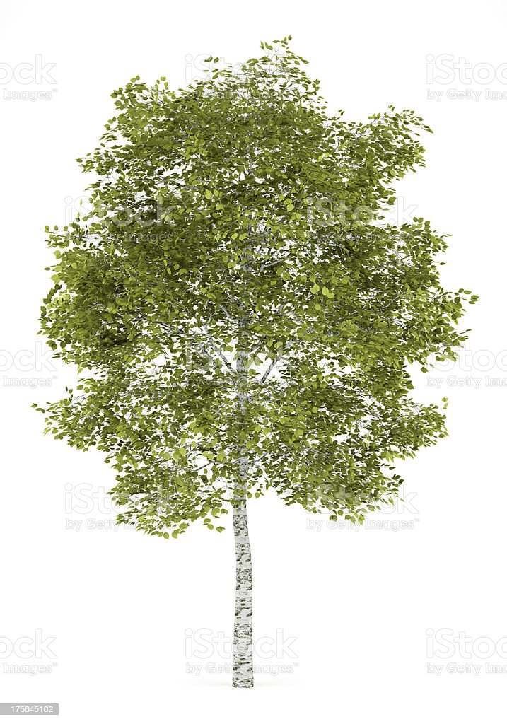 Birke Baum, isoliert auf weißem Hintergrund – Foto