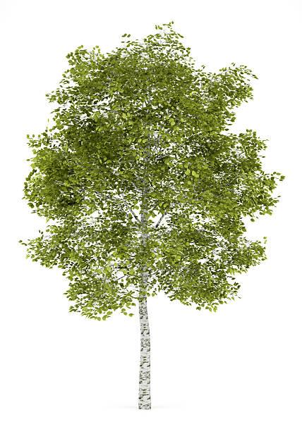 birch tree isolated on white background stock photo
