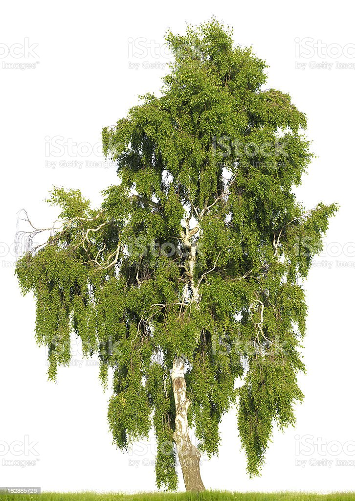 Birch tree (Betula pendula) isolated on white. Huge resolution. stock photo