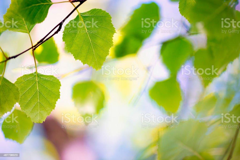 Birch tree Leaf stock photo