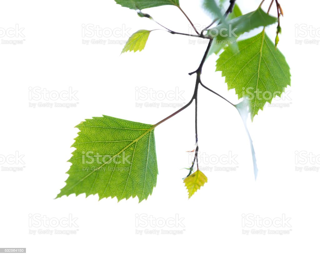 Birch tree leaves isolated on white stock photo