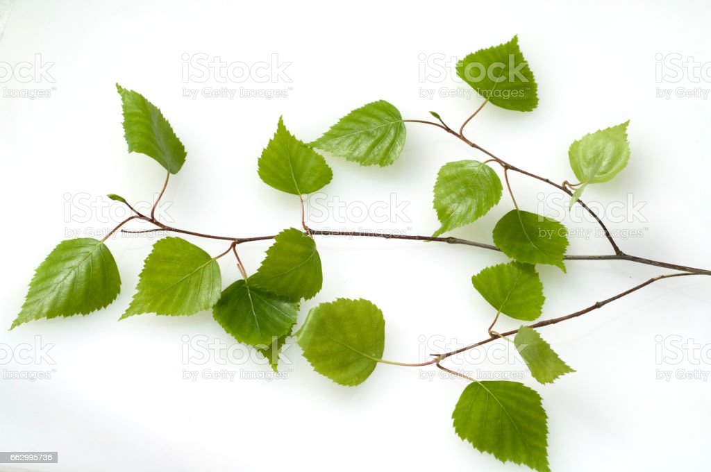 Birch tree, leaves stock photo