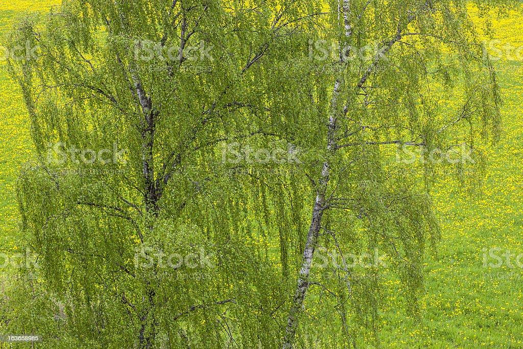 Birch tree on a dandelion field royalty-free stock photo