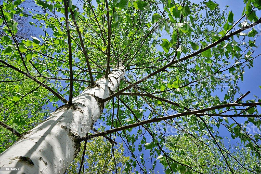 Birch Tree royalty-free stock photo