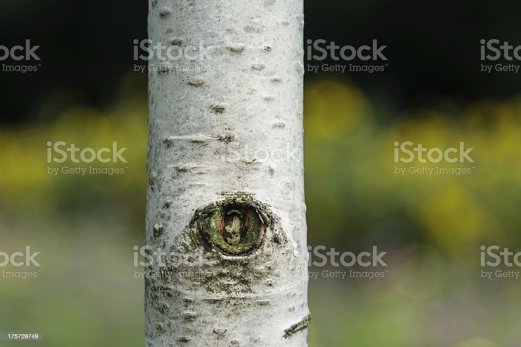 Birch Tree royalty-free stock photo
