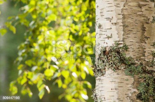 istock Birch tree 509447193