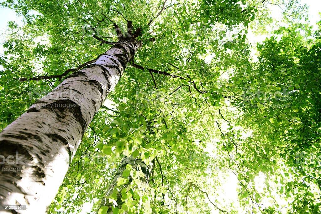 Birke tree – Foto