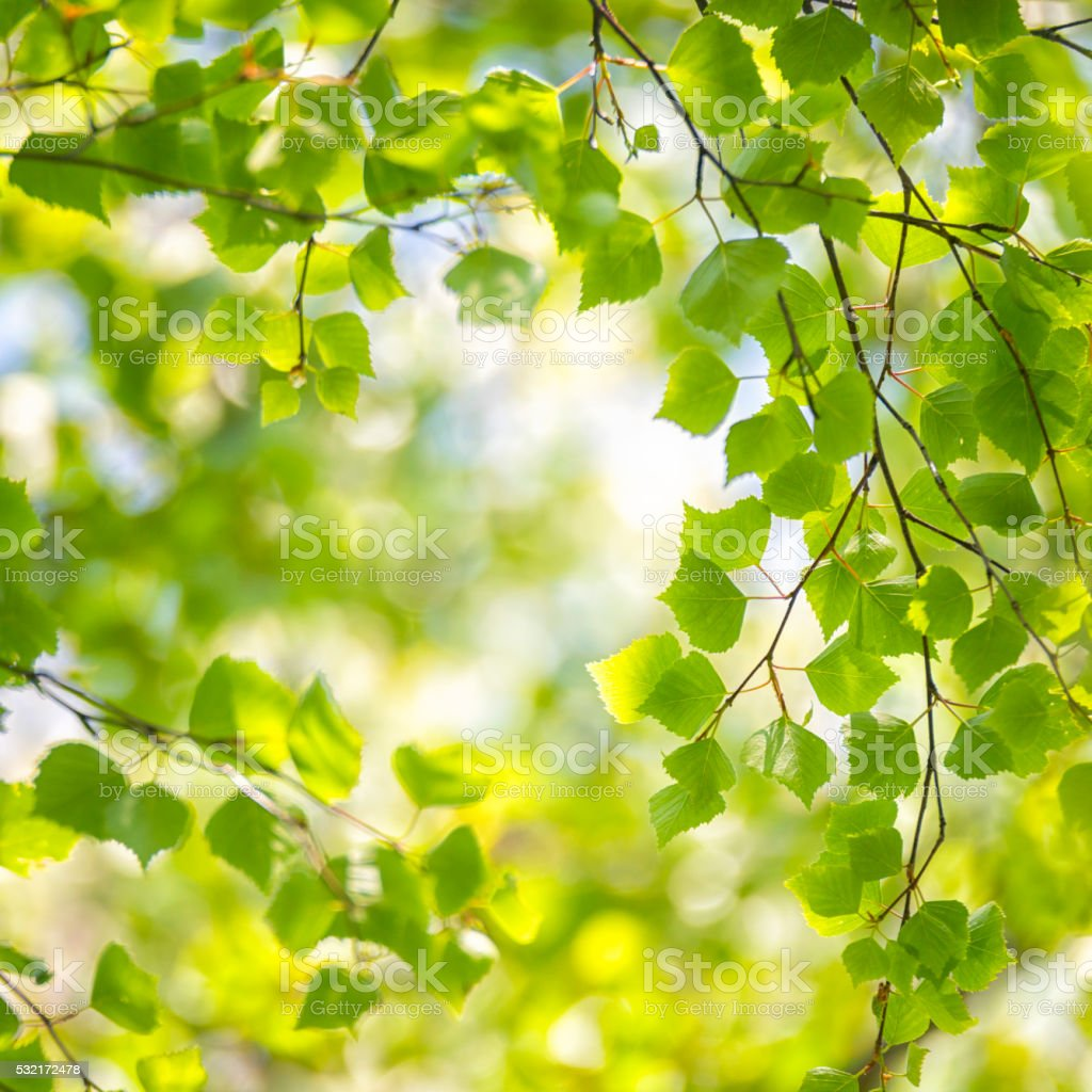 Birch tree springtime forest stock photo