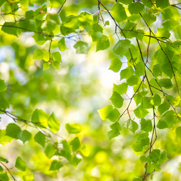 Birke Baum Frühling Wald – Foto