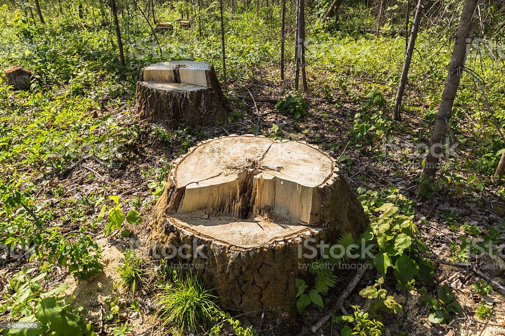 birch tree stump in the forest stock photo