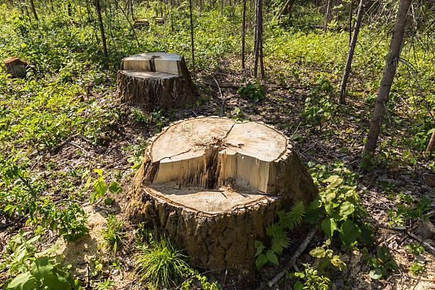 Birch Tree Stump In The Forest Foto