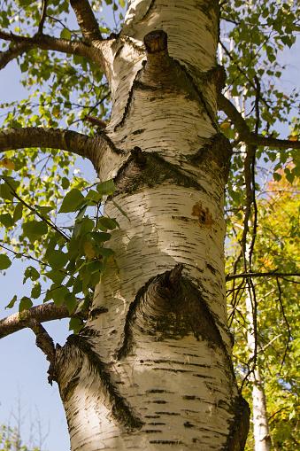 Birch Tree Trunk Detail - Detalle de Tronco de Abedul
