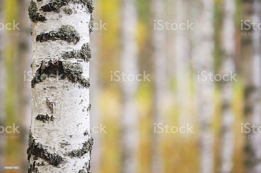 Birch tree trunk royalty-free stock photo