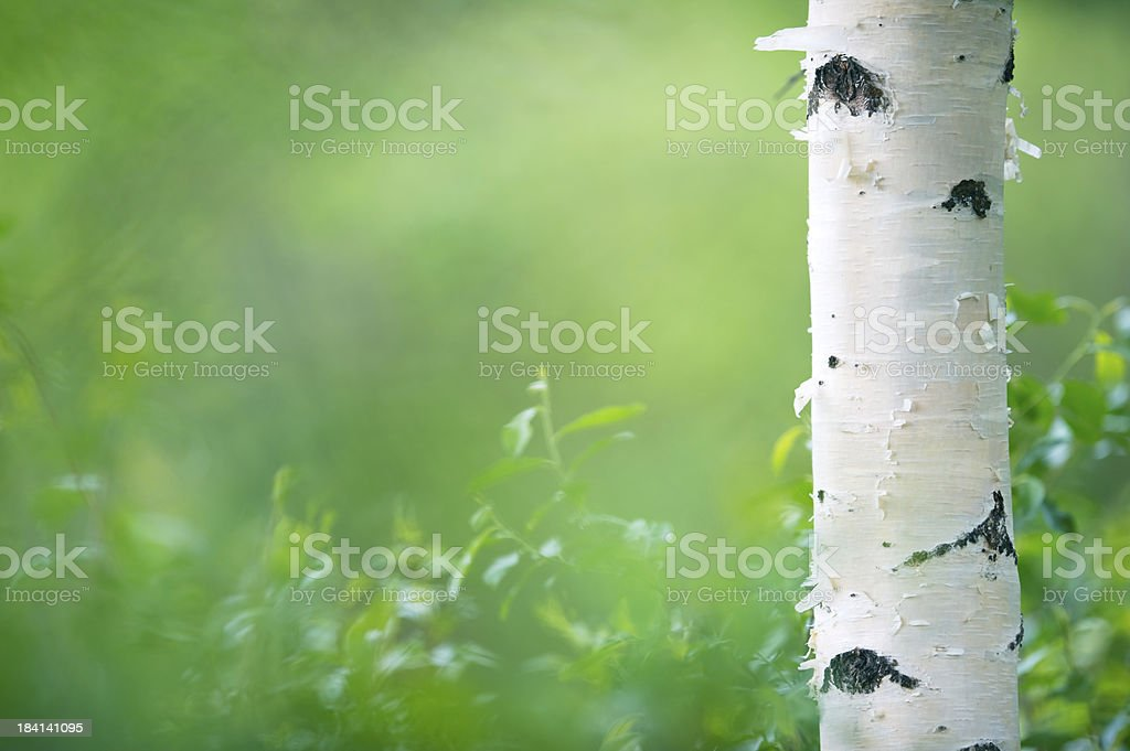 Birch tree trunk royalty-free stock photo
