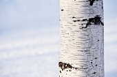 Close-up of birch tree trunk against defocused snow background.