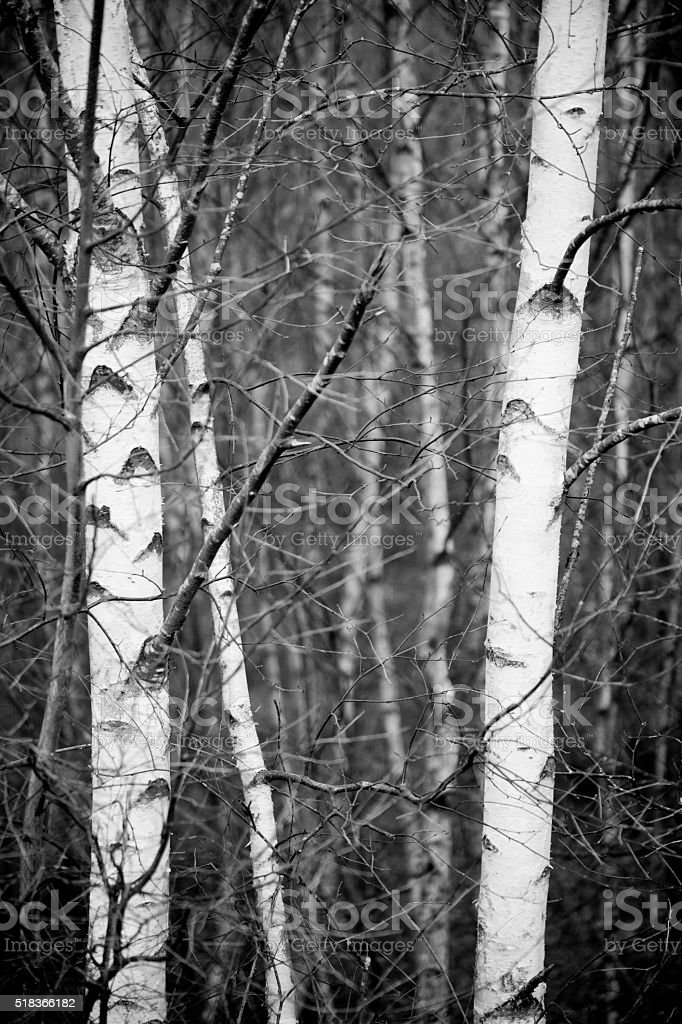 Birch tree trunks, black and white, full frame view. stock photo