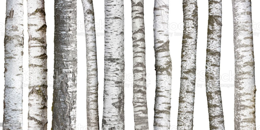 Birch tree trunks isolated on white background – Foto