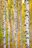 Birch forest in autumn. Focus on foreground tree trunk. Shallow depth of field.