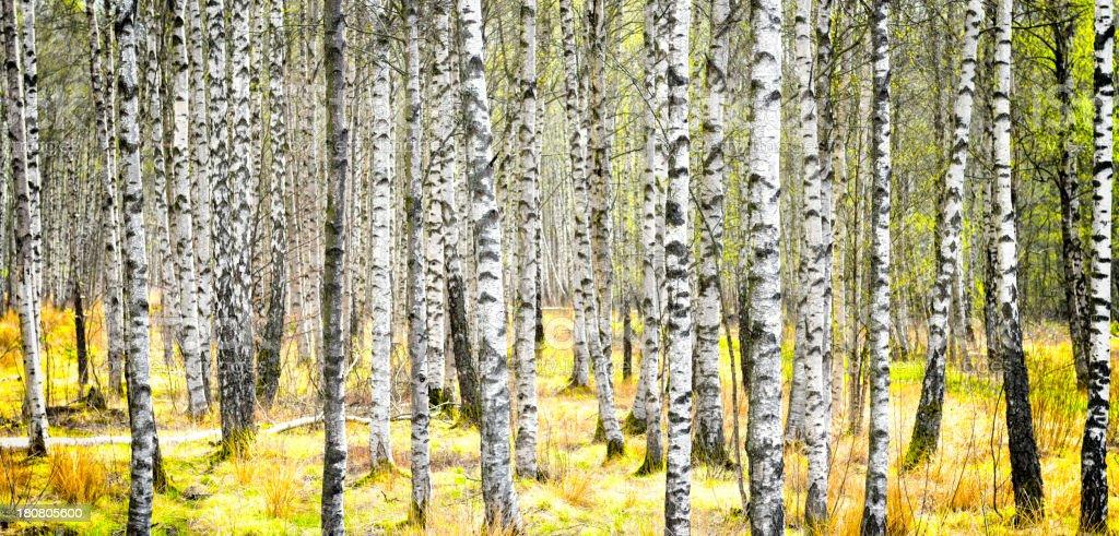 Birch tree trunks royalty-free stock photo
