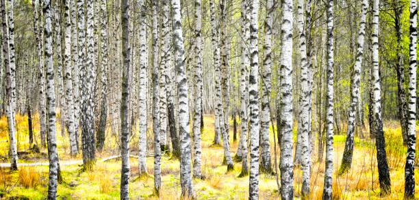 Birke tree trunk – Foto