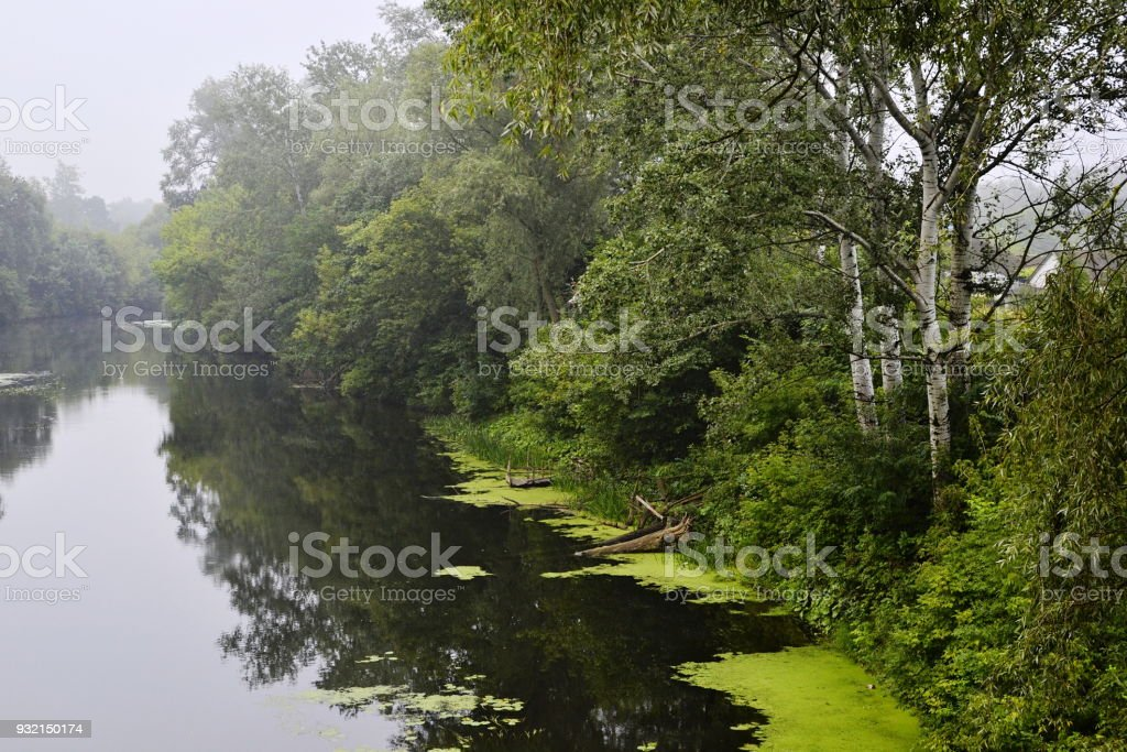 Birch trees along a river. Foggy rainy weather stock photo