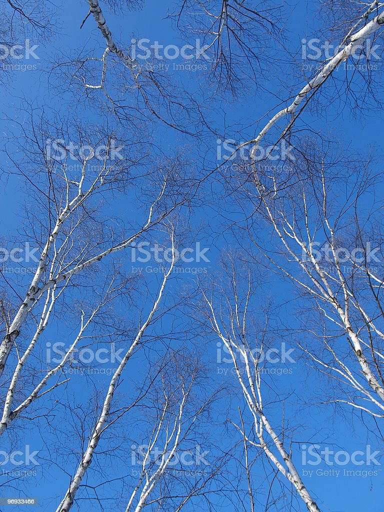 Birch Trees and Blue Sky royalty-free stock photo