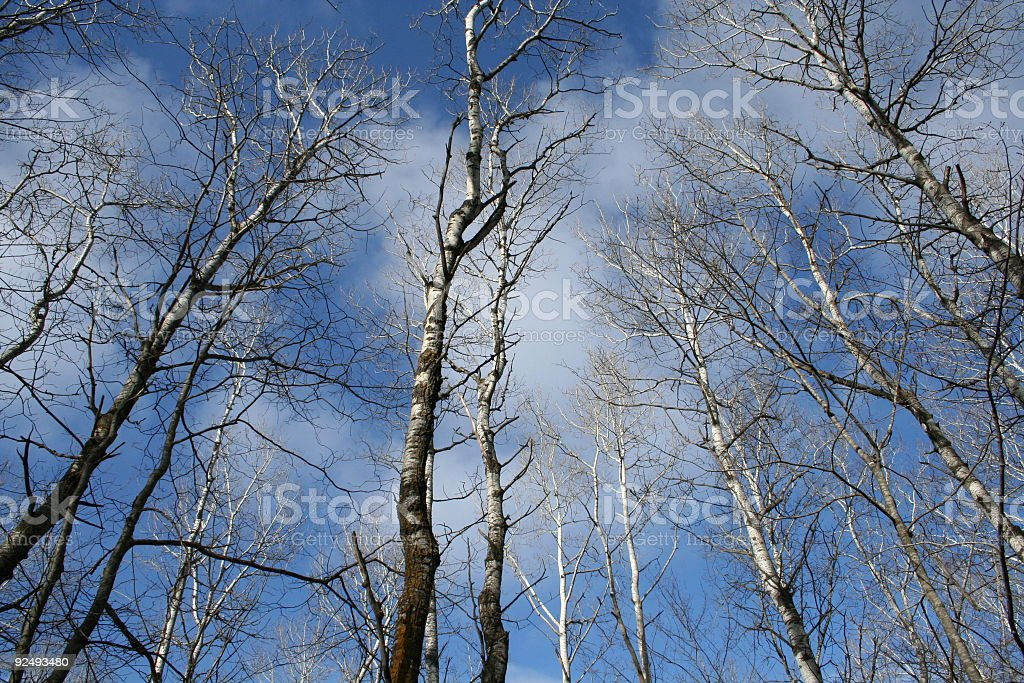 Birch Trees and Sky royalty-free stock photo