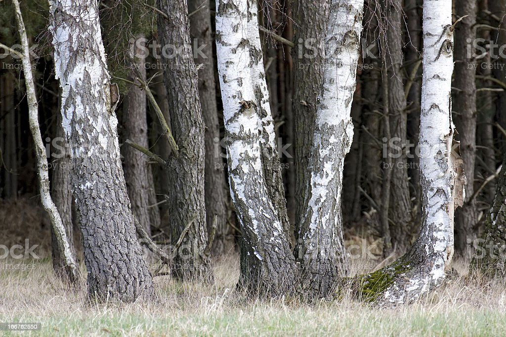 Birch Trees at Meadow royalty-free stock photo
