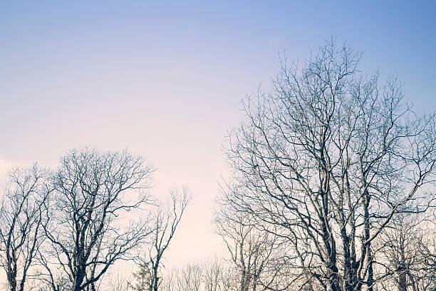 Arbres de bouleau au coucher du soleil - Photo