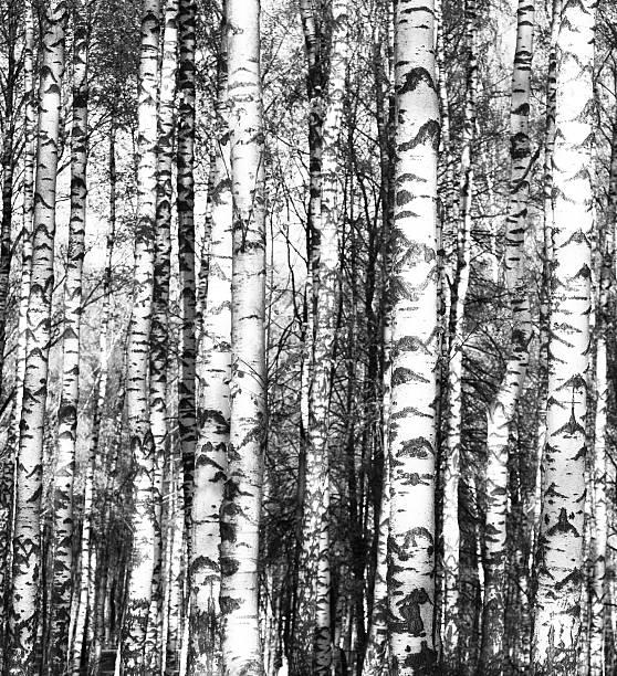 Birken in schwarz und weiß – Foto