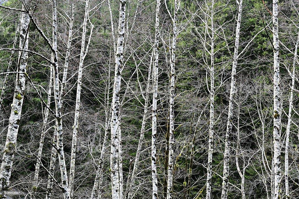 birch trees close-up royalty-free stock photo