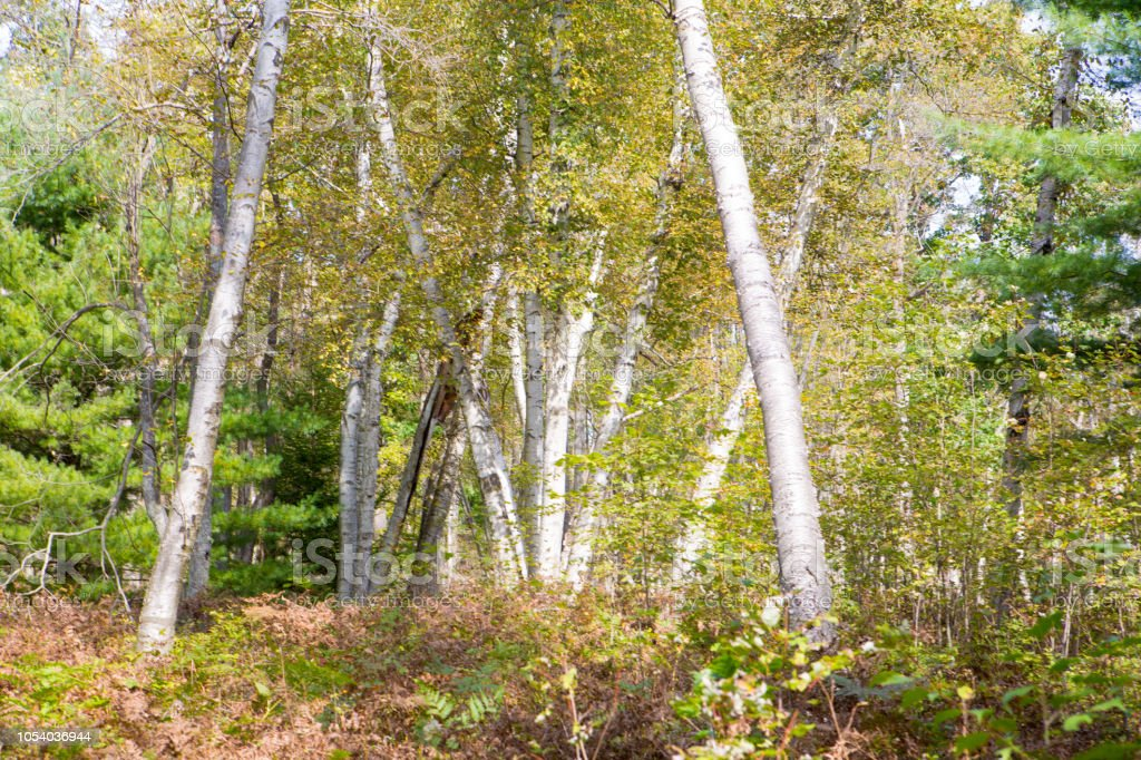 Birch trees in a forest in rural Pennslyvania stock photo