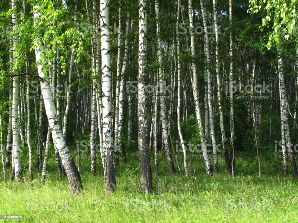 Birch trees in a forest stock photo