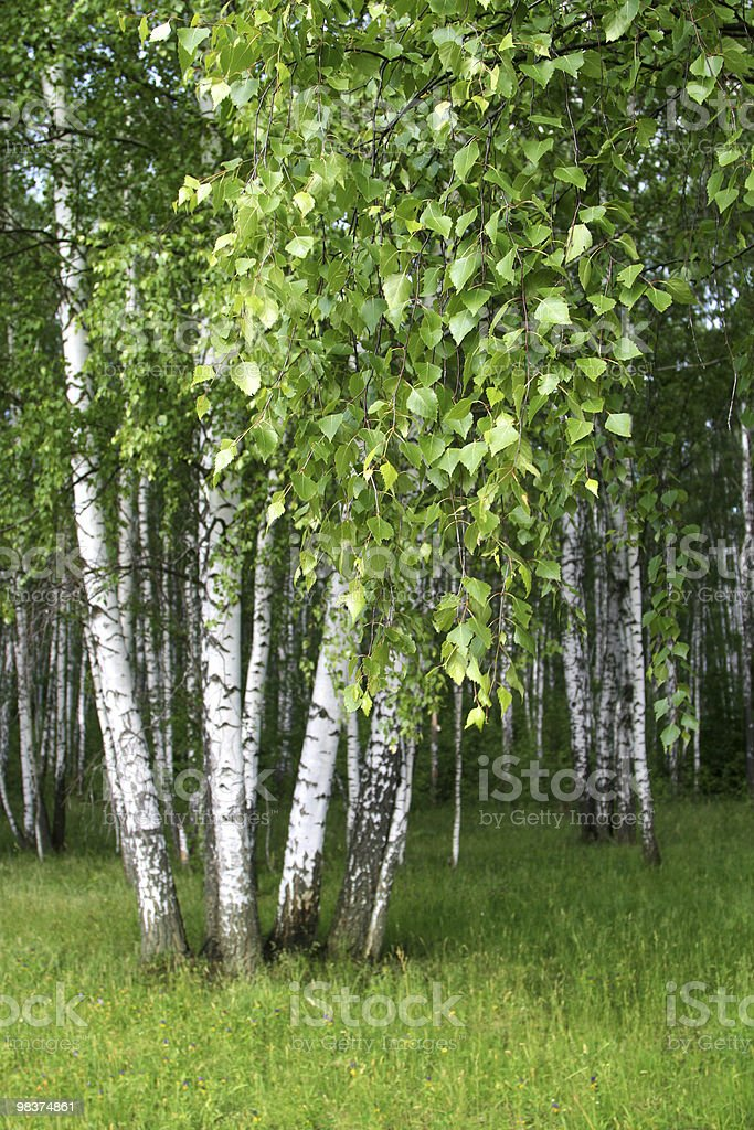 birch trees in a forest royalty-free stock photo