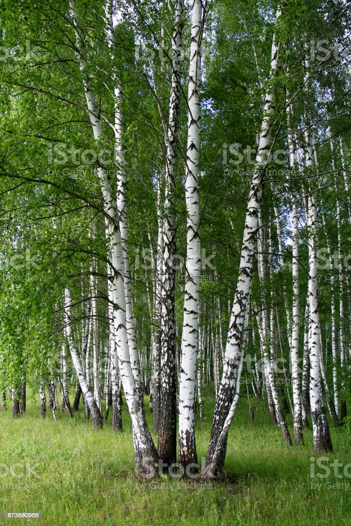 Birch trees in a summer forest stock photo