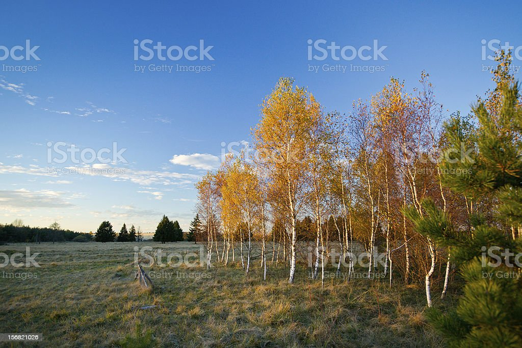 Birch Trees in Autumn royalty-free stock photo